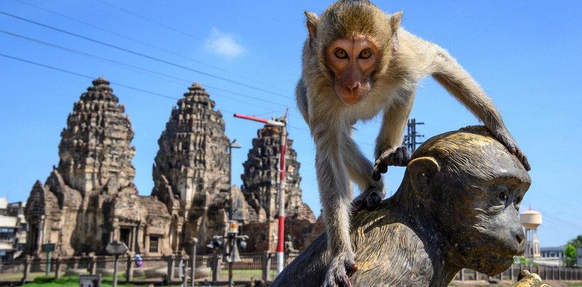 Małpy terroryzują miasteczko. Policjanci są bezsilni. Jest tylko jeden sposób
