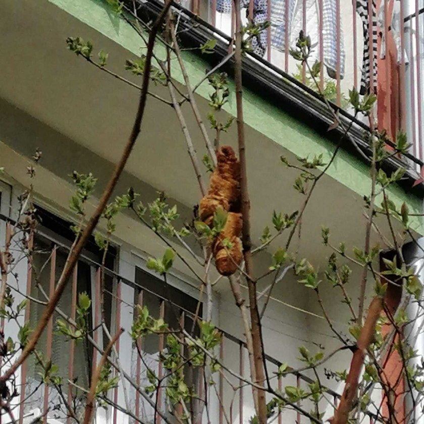 Mieszkańcy Krakowa przerażeni. Na drzewie widzieli egzotyczne zwierzę