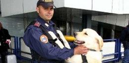 Labrador odebrany bandytom służy w policji