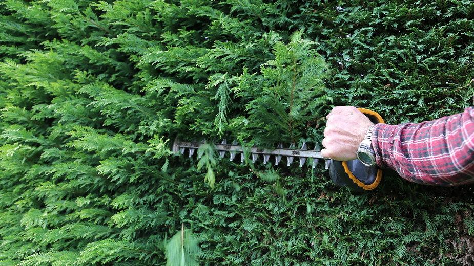 Do formowania tui warto wykorzystać specjalne nożyce -  L.Bouvier/stock.adobe.com