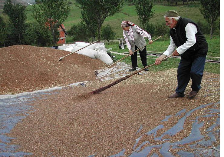 107611_nova-varos01-proizvodnja-bez-pesticida-susenje-zrna-heljde-na-zlataru-foto-zeljko-dulanovic