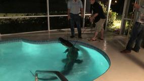 3,5-metrowy aligator odpoczywał w przydomowym basenie
