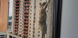 Przerażający wyczyn. Szop wspiął się po ścianie na dach wieżowca