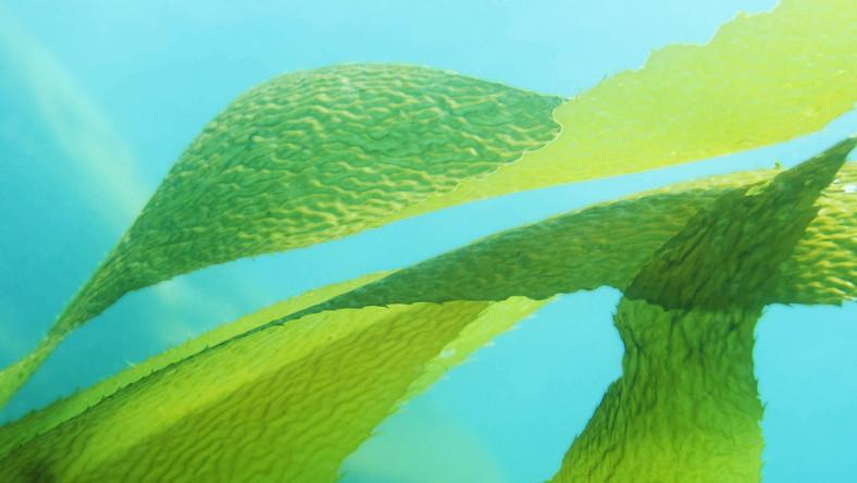 Portugalskie algi wykorzystywane nie tylko do kosmetyków, ale i leków