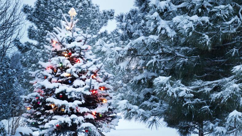 Choinka, pokryta śniegiem