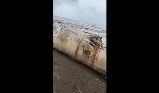 Znaleźli na plaży ogromne zwierzę. Taki gigant może być śmiertelnie niebezpieczny