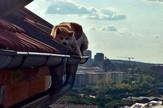 Akita na krovu ygrada, foto Animal rescue Srbija