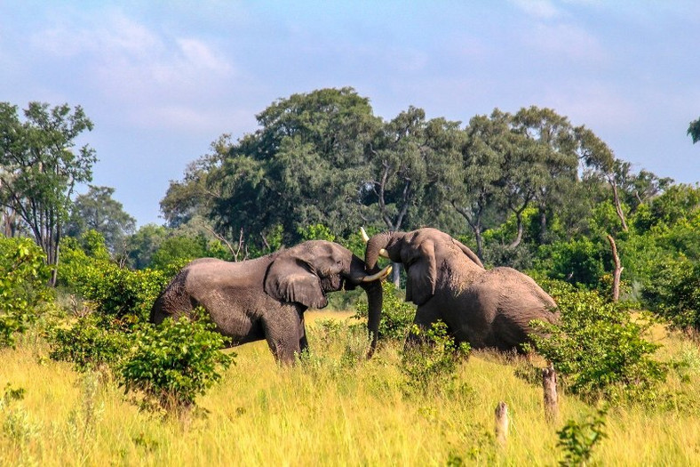 Bull Elephants locking horns in Okavango Delta Botswana