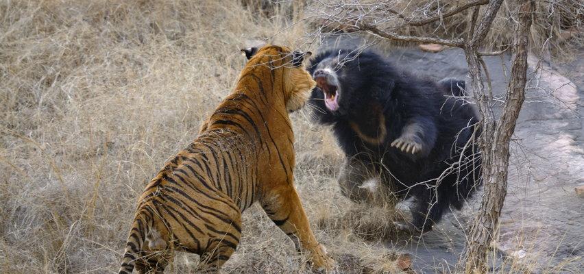 """""""Żeby dzieci nie patrzyły"""". Niedźwiedzica pogoniła lubieżne tygrysy"""