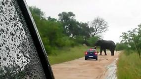 Słoń przewrócił samochód turystów w Parku Narodowym Krugera