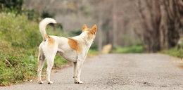 Gmina zapłaci odszkodowanie za psa