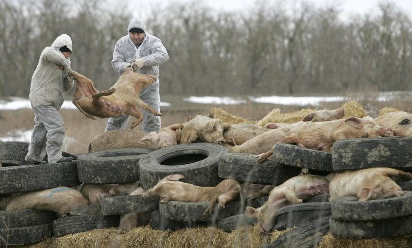 afrykanski pomór świn
