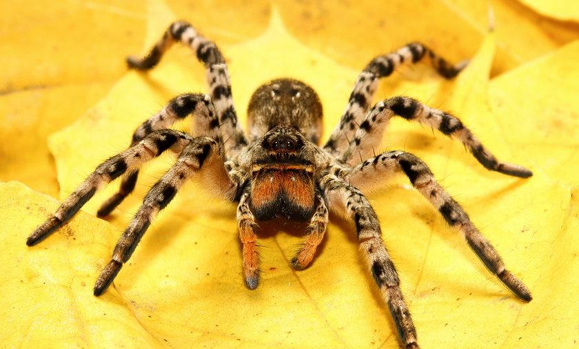 Tarantula ukraińska
