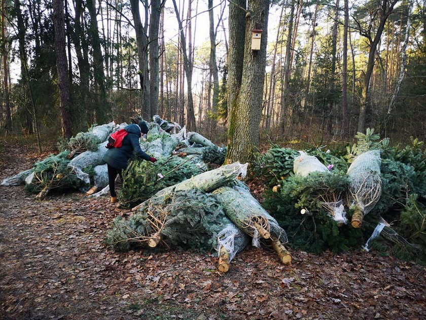 Porzucone choinki w Lesie Sękocińskim. Internauci oburzeni