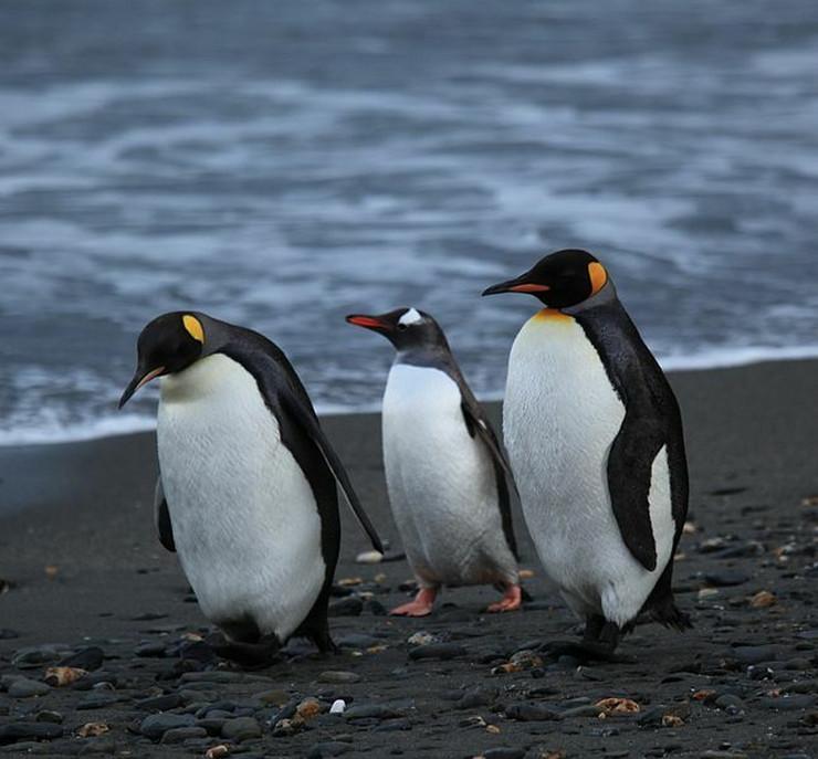 Pingvin pingvini