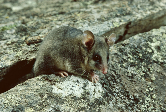 Planinski patuljasti oposum
