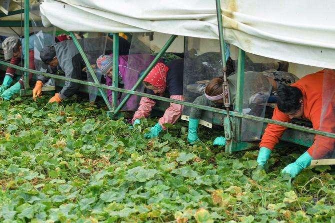 Sezonski radnici iz Rumunije beru krastavce na farmi u pokrajini Brandenburg u Nemačkoj