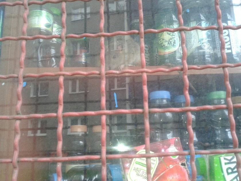 Szczur na witrynie sklepowej w Krakowie