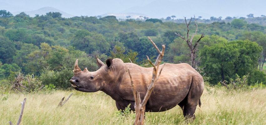 Polscy myśliwi brali udział w masakrze nosorożców! Trofea sprzedawali do Chin i Wietnamu