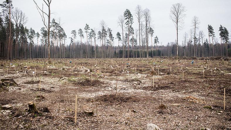 MŚ nie zmieniło zdania na temat wycinki Puszczy Białowieskiej