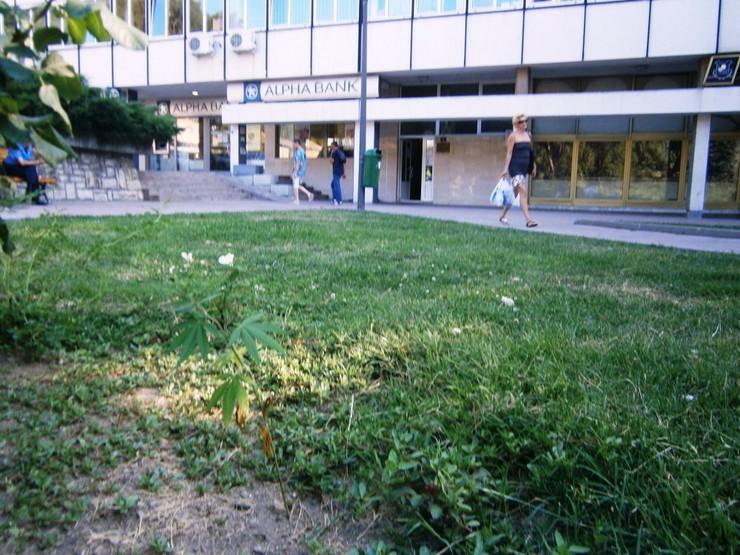 368708_majdanpek-01-marihuana-raste-ispred-policijske-stanice