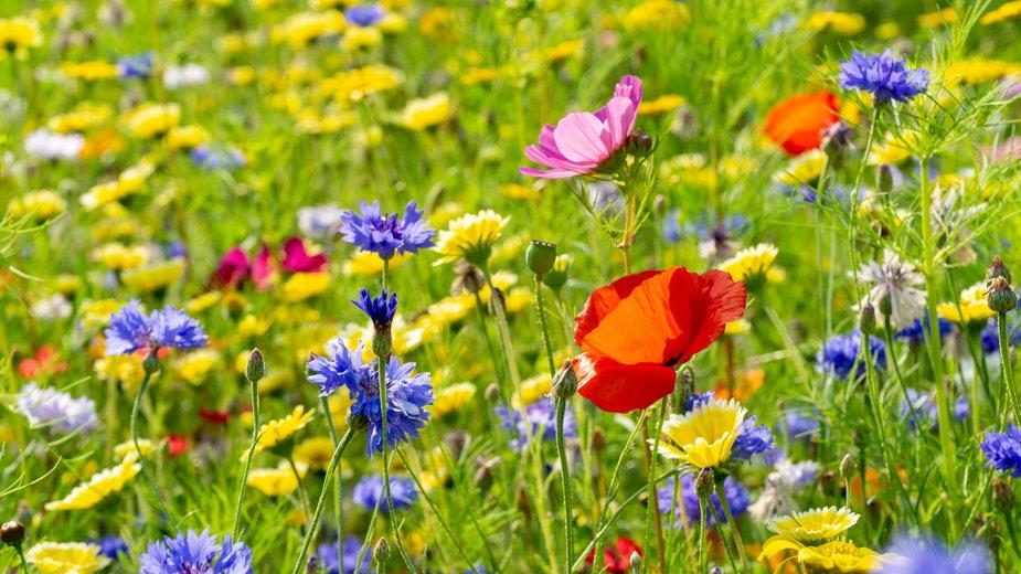 Łąka kwietna to doskonała alternatywa dla trawnika - tl6781/stock.adobe.com