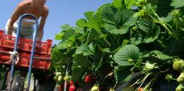 Śmiertelny wirus groźny dla zbieraczy truskawek