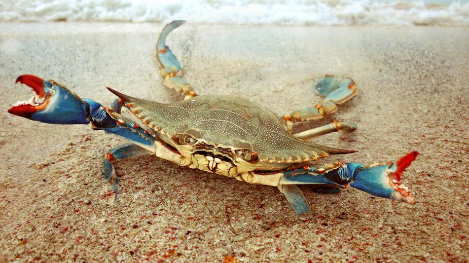Niebieski krab