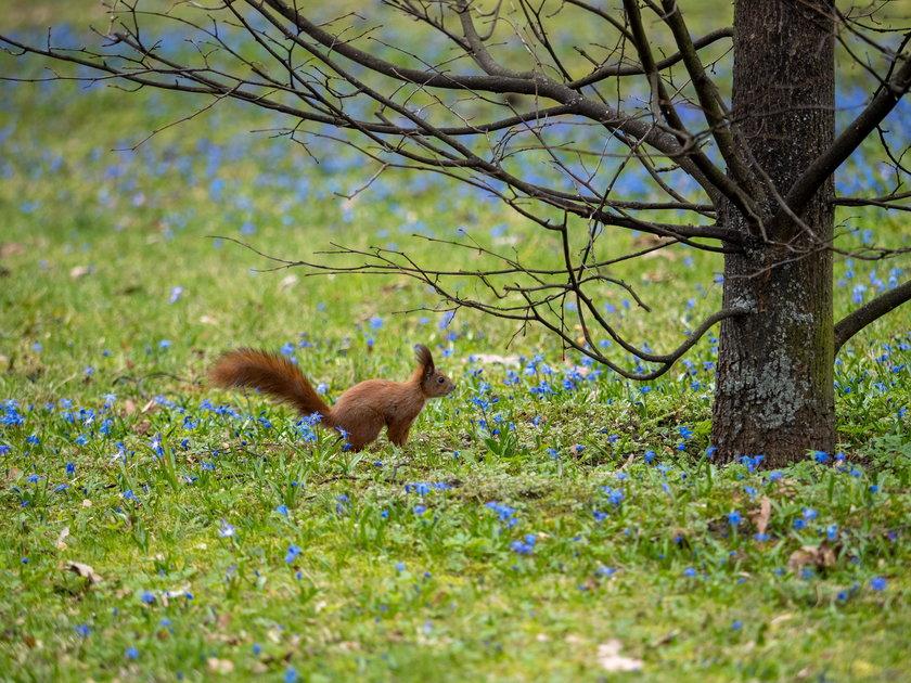 Wiosna w parku Klepacza - zakwitły cebulice