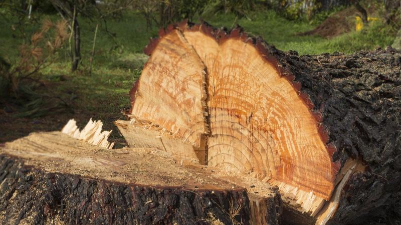 Nowy sposób ochrony drzew przed nielegalną wycinką