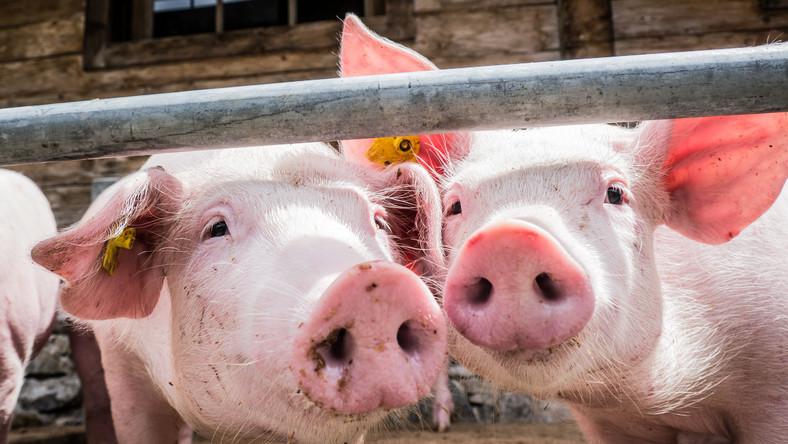 Szwajcaria wprowadza zakaz importu wieprzowiny z Polski i Litwy