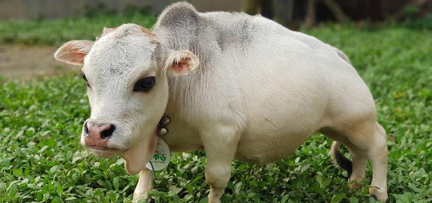To najmniejsza krowa świata. Tłumy fanów chcą ją oglądać