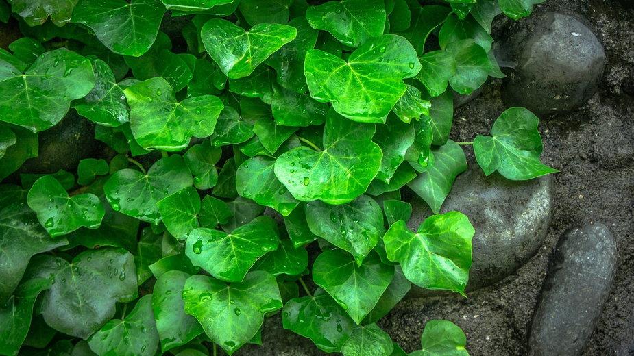 Bluszcz doskonale nadaje się na żywopłot lub jako osłona ogrodzenia - jeonsango/pixabay.com