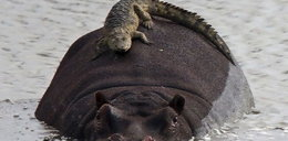 Niesamowite! Hipcio i krokodyl