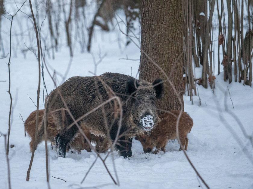 Dziki w parku na Zdrowiu