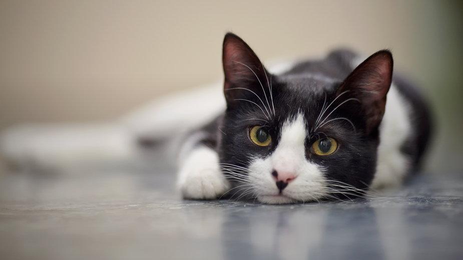 Jak długo żyją koty? - Azaliya (Elya Vatel)/stock.adobe.com