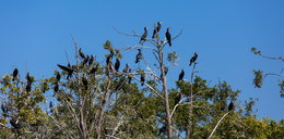 Zabiją prawie dwa tysiące kormoranów na Mazurach!