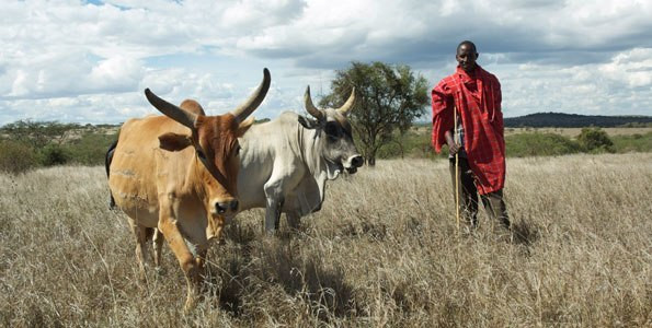 A Maasai herder with his cows