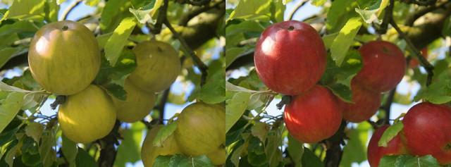Na levoj slici se vidi kako mačka vidi crvene jabuke na grani