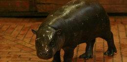 Wysłali hipopotamicę z Polski na seks do Singapuru