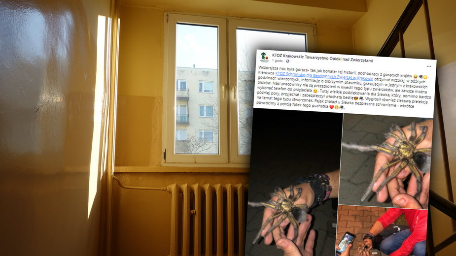 W jednym z krakowskich bloków grasował jadowity pająk