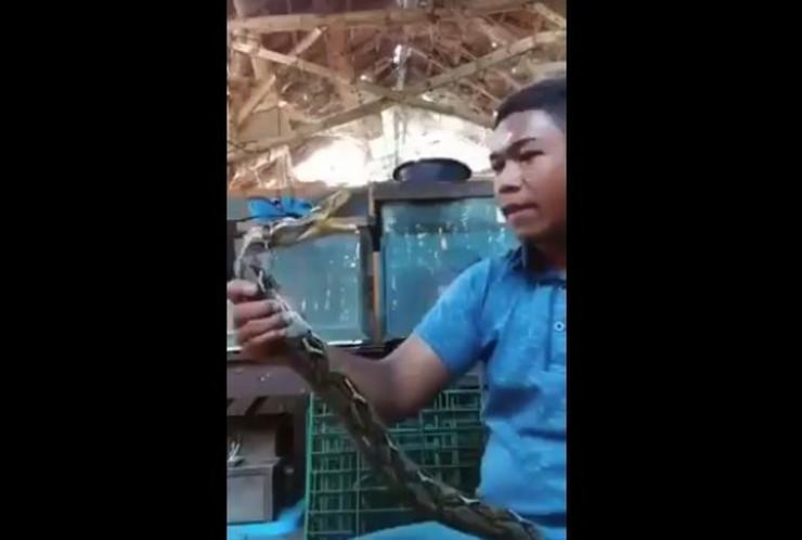 zmija piton