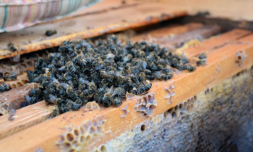 Miliony martwych pszczół w Wielkopolsce
