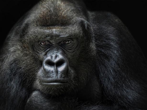 Szympansy przechodzą egzamin pozytywnie – wiedzą, że widzą w lustrze swoje odbicie. Ale goryle już tej świadomości nie mają.