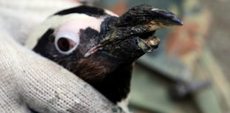 Wydrukują pingwinowi dziób!