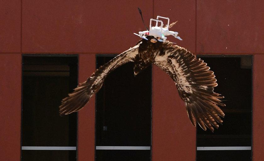 Orły to ptaki drapieżne, których rozpiętość skrzydeł dochodzi do 2 metrów szerokości