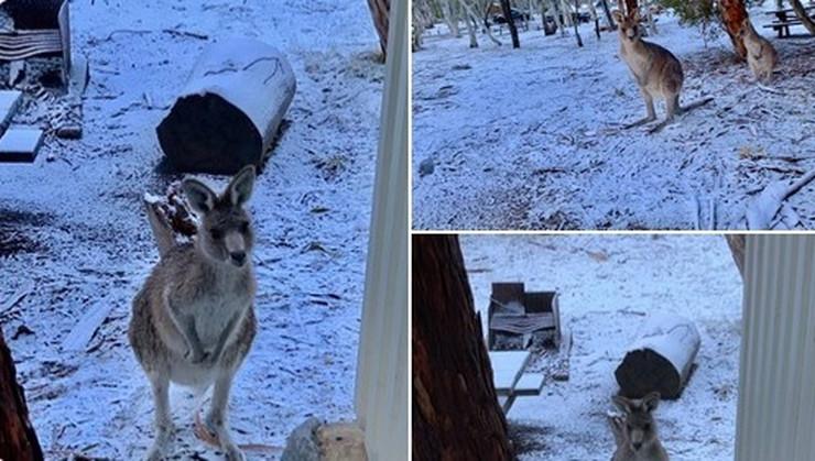 Kenguri Australija sc ostalo