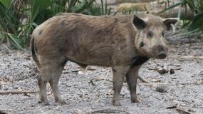 Plaga dzikich świń zagraża obchodom Halloween w miasteczku na Florydzie