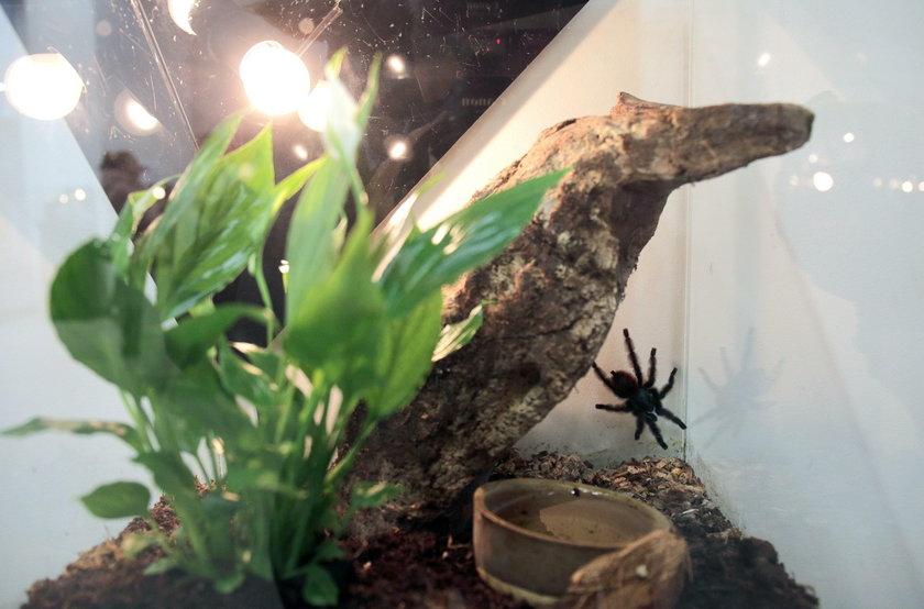 Czarna wdowa w Sukcesji! Dziś u nas bilety na wystawę pająków
