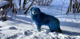 Zagadka niebieskich psów rozwiązana! Jest inaczej, niż wszyscy podejrzewali...